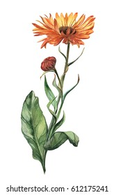 Watercolor isolated hand-drawn flower calendula