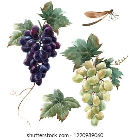 Watercolor isolated illustration, bunch of black grapes with leaf, white grapes. dragonfly