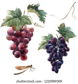 Watercolor isolated illustration, bunch of black grapes with leaf, red grapes. dragonfly