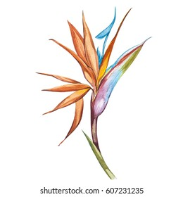 Watercolor isolated illustration of Strelitzia reginae, tropical flower composition on a white background