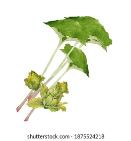 Watercolor Japanese butterbur and sprout