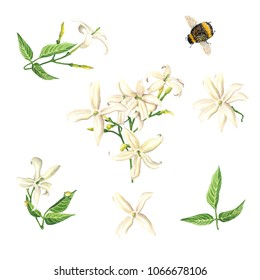Watercolor Jasmine blossom & bumble bee set, isolated on white background. Hand drawn botanical illustration for Save the Date, Valentine day Card, Wedding invitation, Cover. Poster & textile design.