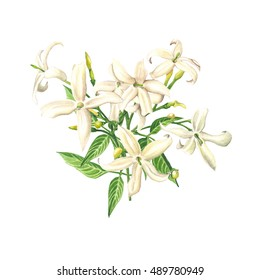 Watercolor Jasmine blossom, isolated on white background. Botanical illustration for Save the Date, Valentines day Cards, Wedding invitation, Covers. Poster & textile design. Hand drawn illustration.