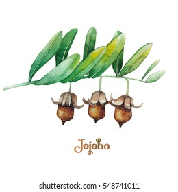 Watercolor jojoba branch isolated on white background