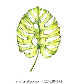 Watercolor leaf of monstera or split-leaf philodendron (Monstera deliciosa) Tropical plant growing in the wild, isolated on white background.
