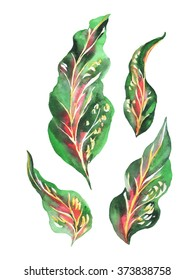 Watercolor leaves cordyline isolated on a white. Set hand drawn illustration tropical leaf.