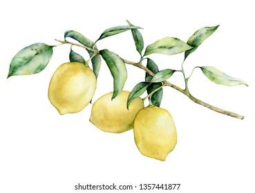 Watercolor lemon branch set. Hand painted lemon fruit on branch isolated on white background. Floral elegant illustration for design, print