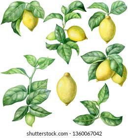 Watercolor lemon clip art. Yellow citrus clipart.