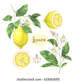 Watercolor lemon collection. Hand drawn illustration of the sliced fruits, flowers and branches isolated on the white background.