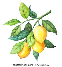Watercolor lemon fruits. Branch, leaves. Isolated on white background. Hand paint design element