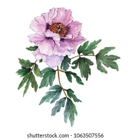 Watercolor light pink tree-like peony with leaves on white background. Fresh flowering peony. Watercolor illustration.