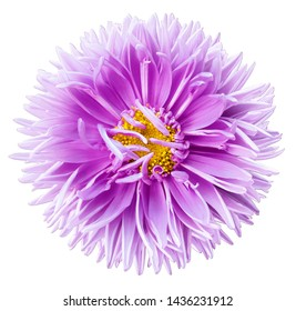 Watercolor light purple aster flower isolated on a white background with clipping path without shadows. close-up. Nature.