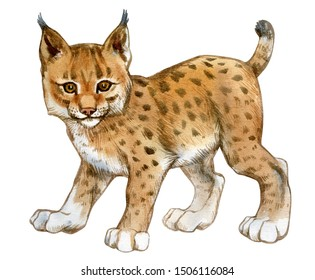 Watercolor lynx cub. Hand painted stock illustration of a young lynx isolated on a white background.
