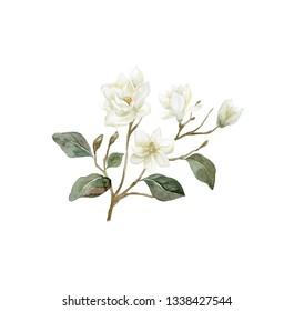 Watercolor Magnolia branch. Illustration of magnolia flower.