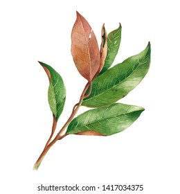 Watercolor magnolia tree branch. Isolated hand drawn illustration. Elegant botanical drawing for decor, invitations, package design.