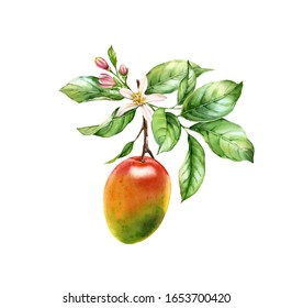 Watercolor Mango fruit. Tree branch with flowers leaves. Realistic botanical floral composition. Isolated illustration on white. Hand drawn exotic food design element