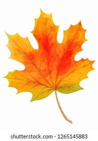 Watercolor maple leaf on white background