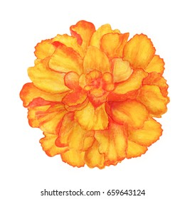 Watercolor marigold flower isolated on white background