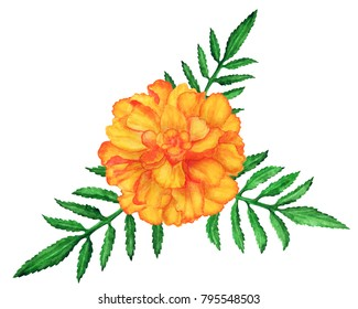 Marigold flowers images stock photos vectors shutterstock watercolor marigold flower leaves isolated on white background mightylinksfo