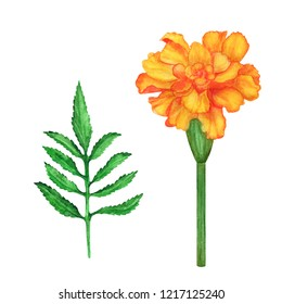 Watercolor marigold flower, leaves set isolated on white background. Hand painting on paper