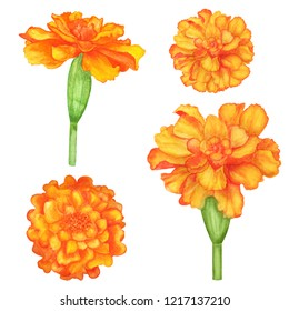 Watercolor marigold flowers set isolated on white background. Hand painting on paper