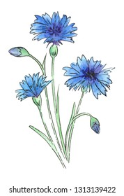 Watercolor meadow flowers. Cornflowers. Isolated on white background.