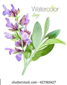 Watercolor natural sage plant. Salvia.Watercolor medicinal herbs .Watercolor hand drawn bunch of flowering sage.Isolated organic natural herbs.Italian herbs.Food Design. Vegan Food. Herbs of Provence.