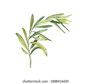 The watercolor olive branch is fresh green isolated on a white background. Hand drawing illustration