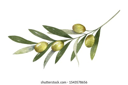 Watercolor olive branch with leaves and fruits isolated on white background. Floral illustration for wedding stationary, greetings, wallpapers, fashion and invitations