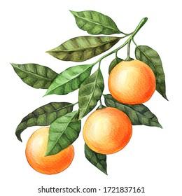 Orangenobst in der Wasserfarbe. Zweig, Blätter. Einzeln auf weißem Hintergrund. Handlackdesign-Element