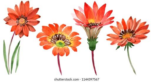 Watercolor orange gazania flowers. Floral botanical flower. Isolated illustration element. Aquarelle wildflower for background, texture, wrapper pattern, frame or border.