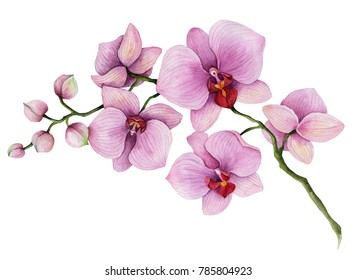 Watercolor orchid branch, hand drawn floral illustration isolated on a white background.