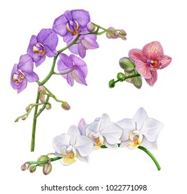Watercolor orchid flowers.  Violet, pink, white orchid branches. Beautiful flowers isolated  on white background.