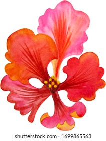 Watercolor Orchid, red tropical flower, white background, isoleted