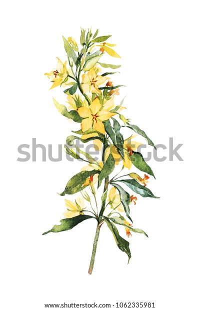 Watercolor painted branch with leaves and blooming yellow flowers of loosestrife. Isolated on white.