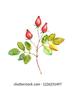 watercolor painted illustration with wild rose branch with fruit and leaves