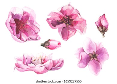 Watercolor painted set of pink cherry blossoms.