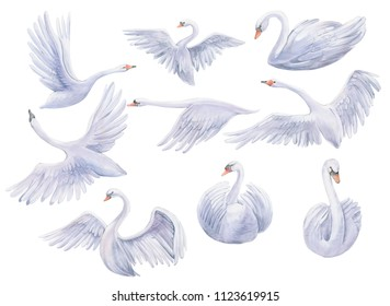 Watercolor painting of all forms of swans, flying, resting swans