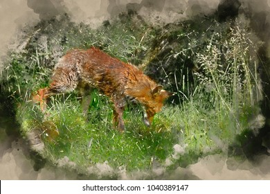 Watercolor painting of Beautiful old female vixen fox in long Summer grass