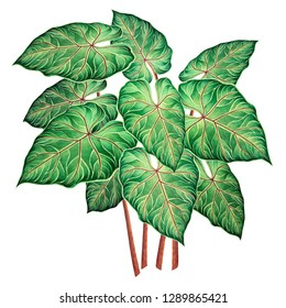 Watercolor painting big green leaves,palm leaf isolated on white background.Watercolor elephant ear leaf,illustration tropical exotic leaf for wallpaper vintage Hawaii style pattern.With clipping path