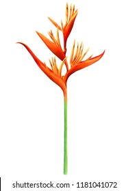 watercolor painting bird of paradise blooming flowers isolated on white background.Hand drawn illustration tropical exotic colorful flower for wallpaper summer hawaii style pattern.With clipping path.