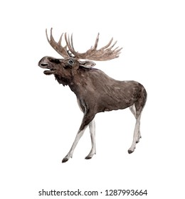 Watercolor painting a brown moose isolated on white