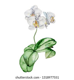 Watercolor painting by the hand of a blooming white Orchid. Isolated on white background.