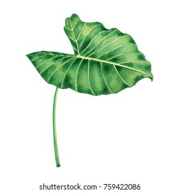 Watercolor painting coloasia,green leaves,palm leaf isolated on white background.Watercolor hand painted illustration tropical exotic leaf for wallpaper vintage Hawaii style pattern.With clipping path