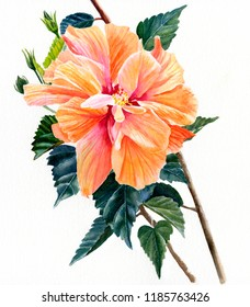 watercolor painting double orange hibiscus flower white background