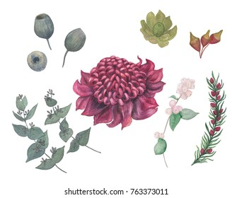 Watercolor painting flowers waratah australia  and eucalyptus branch on white. Design for invitation, wedding or greeting cards