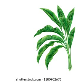 Watercolor painting green leaves isolated on white background.Watercolor hand drawn illustration palm,banana leaves tree tropical exotic leaf for wallpaper vintage Hawaii aloha summer style pattern.