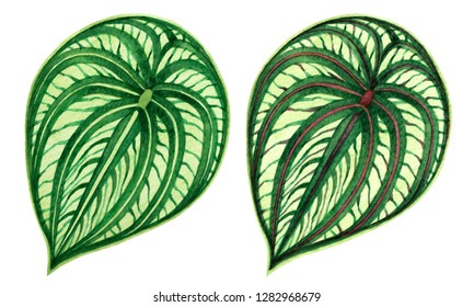 Watercolor painting green leaves,palm leaf isolated on white background.Watercolor elephant ear leaf,illustration tropical exotic leaf for wallpaper vintage Hawaii style pattern.With clipping path.