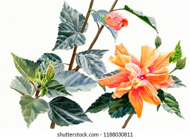Watercolor painting illustration double orange hibiscus flower white background