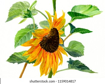Watercolor painting illustration of yellow orange sunflower blossom with leaves.